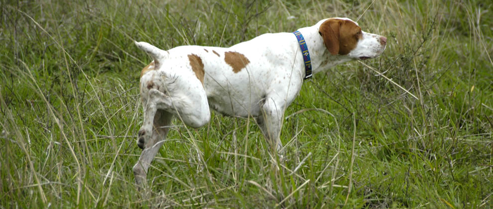 2argentina-hunting-dog-point