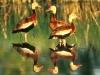 2argentina-ducks