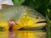 2wsa-golden-dorado