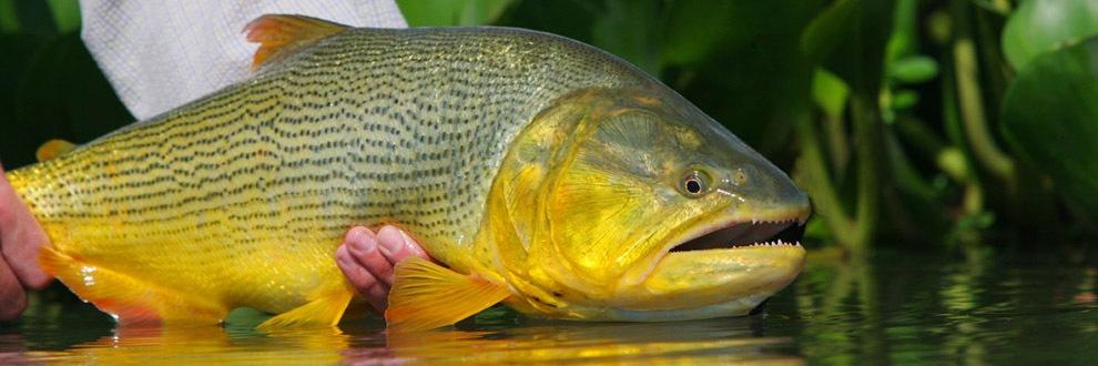 wsa-golden-dorado
