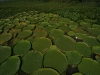 arg-giant-lily-pads-2a-300-dpi