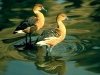 fulvous-whistling-duck-good-photo